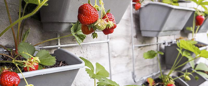 Huerto en casa fresas