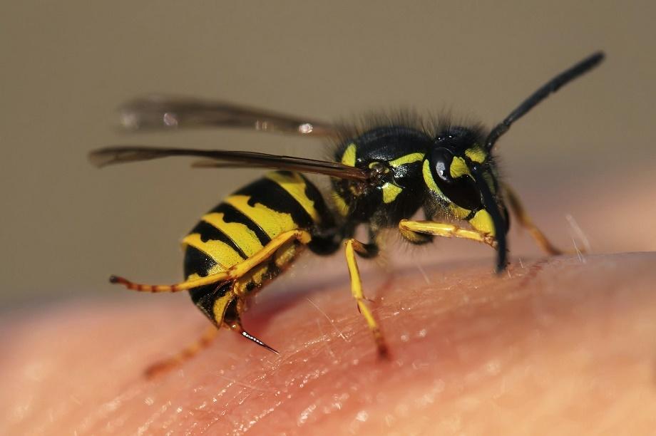 las de avispa son de las picaduras de insectos mas comunes