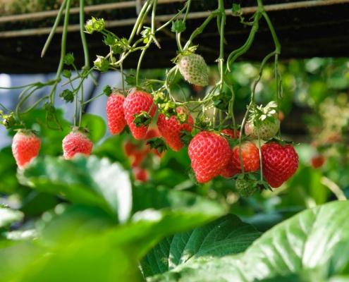 plantar fresas en tu huerto urbano