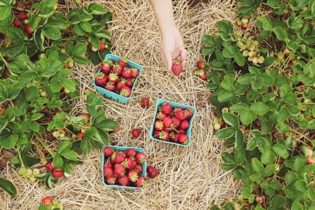 cómo sembrar fresas en el suelo