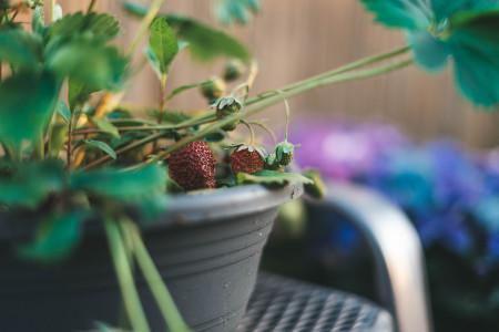 culitvo de fresas